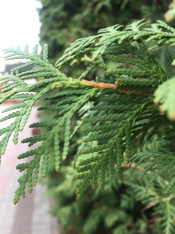 Cypress cedar tree branch. Thuja occidentalis bush is evergreen coniferous tree in cypress family Cupressaceae. Background, beautiful, decorative, leaf, nature royalty free stock images