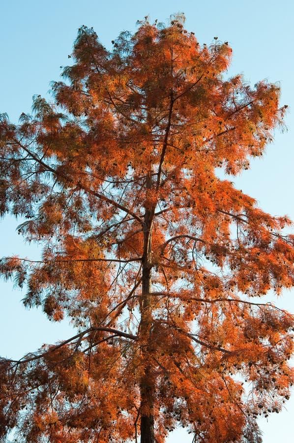 Cypress chauve (distichum de Taxodium) photographie stock libre de droits