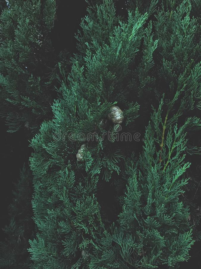Green cypress tree. Cypress is a common name for coniferous trees, belong to the family Cupressaceae royalty free stock photo
