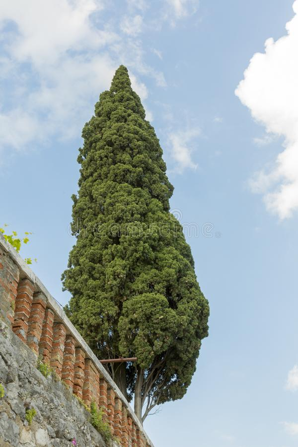 Cypress tree at the background of the blue sky. Cypress is a common name for various coniferous trees or shrubs of northern temperate regions that belong to the stock images
