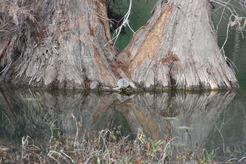 Cypress e tartarugas imagens de stock