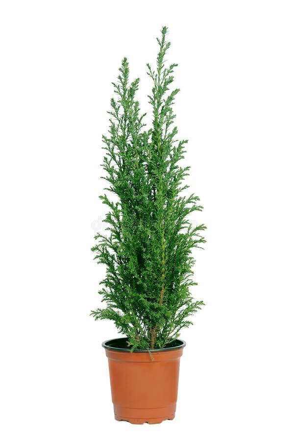 Cypress en crisol. imagenes de archivo