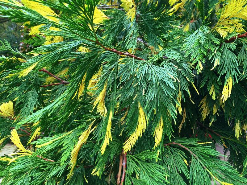 Cypress with green and yellow needles stock photos
