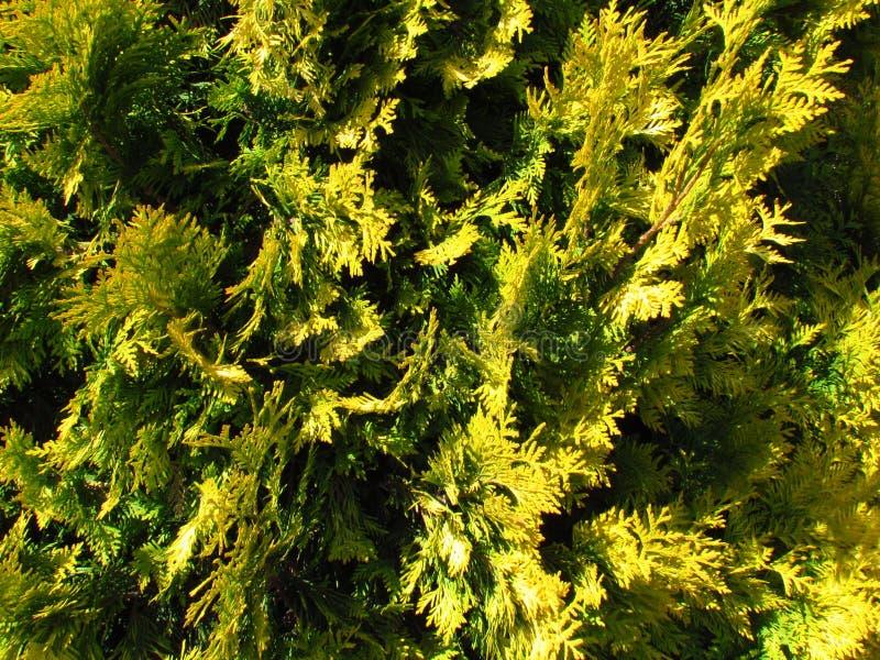 Cypress gul cultivar, närbild av ett visarträd, naturlig phototexture arkivbild