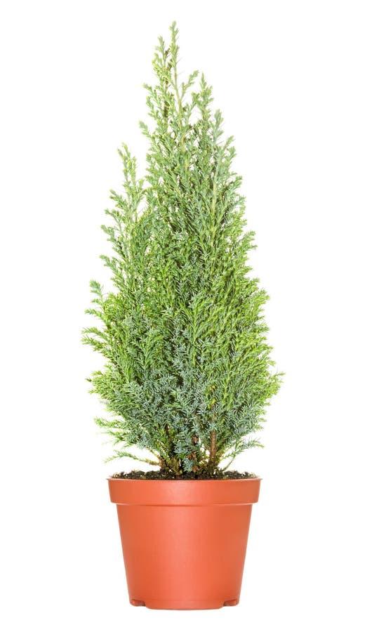 Cypress i kruka royaltyfria bilder