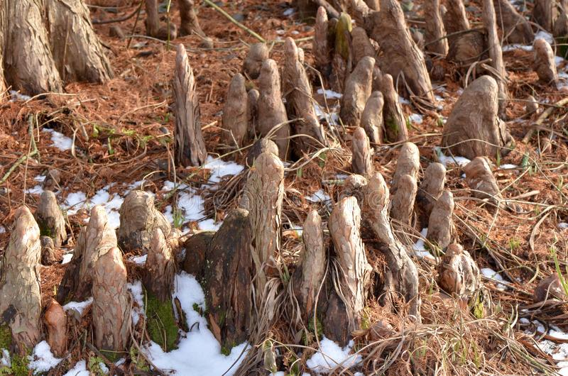 Cypress Knees. Structures called knees that grow above the roots of cypress trees in the subfamily Taxodioideae usually seen on trees growing in swamps royalty free stock photography
