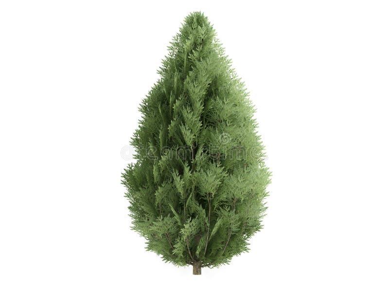 Cypress (lawsoniana do chamaecyparis) ilustração royalty free