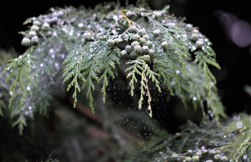 Cypress. Is the name applied to many plants in the  family Cupressaceae, which is a conifer of northern temperate regions. Most  species are trees, while a few royalty free stock photography