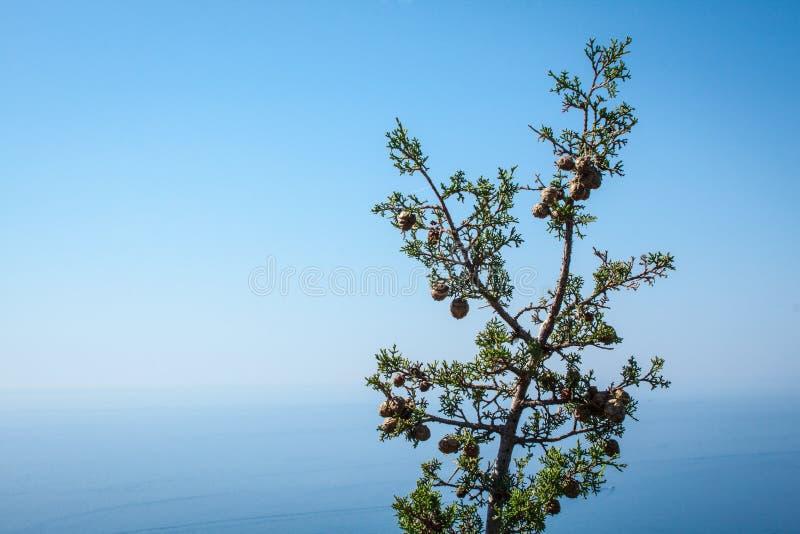 Cypress på det medelhavs- royaltyfri foto