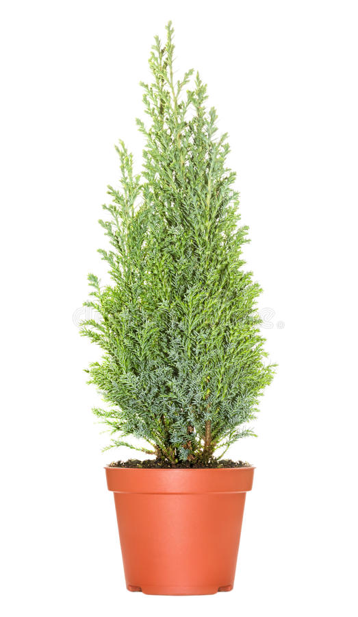 Cypress in pot. Isolated on white background royalty free stock images