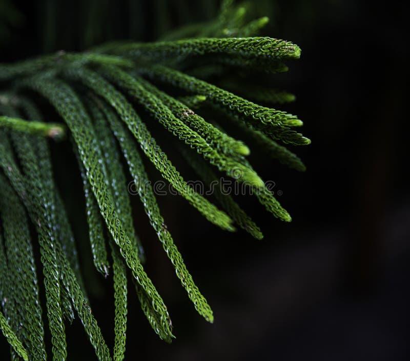 Cypress sae com a cor verde imagens de stock royalty free