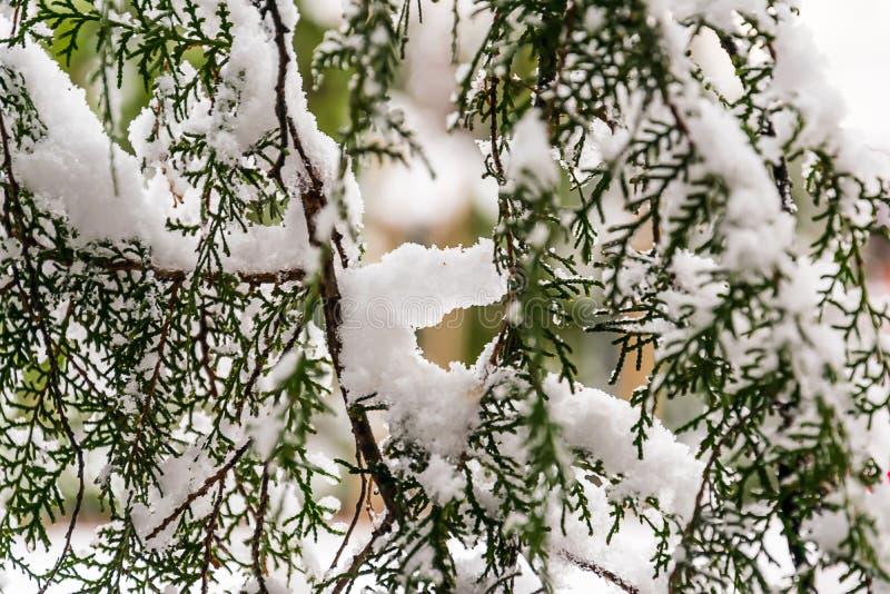 Cypress sous la neige photo stock