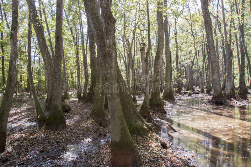 Cypress swamp on Natchez Trace. Cypress and water tupelo tree swamp along Natchez Trace Parkway in Mississippi, USA stock image