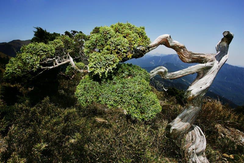 Cypress tree. Gnarled cypress tree in Yushan National Park, Taiwan royalty free stock images