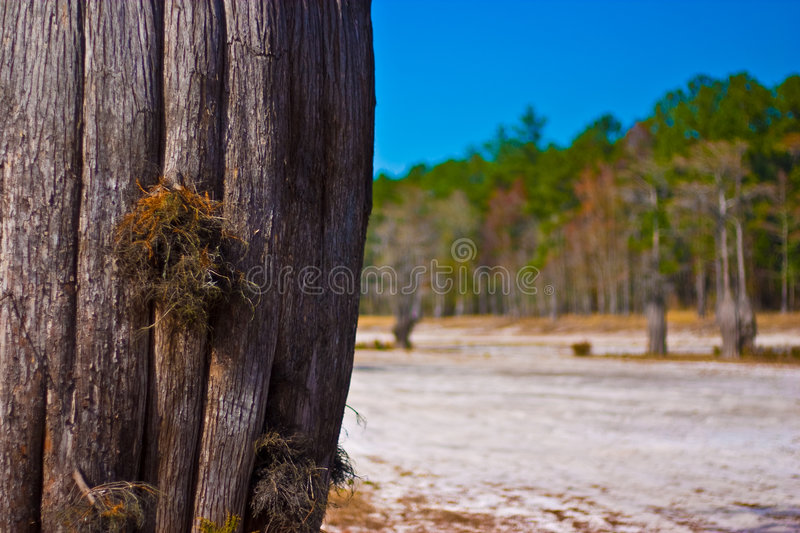 Cypress Tree stock images
