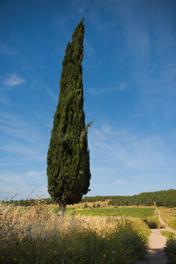 Cypress tree against cloudy, summer, blue sky next to old road stock image