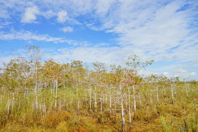 Tree in everglades national park royalty free stock images