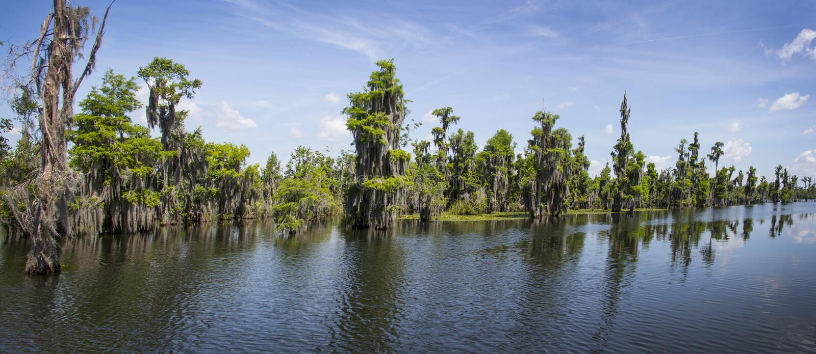 Cypress Tree Forest Panoramic royalty free stock photo