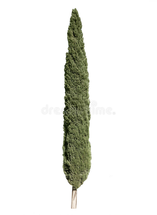 Cypress tree. Isolated over white background royalty free stock image