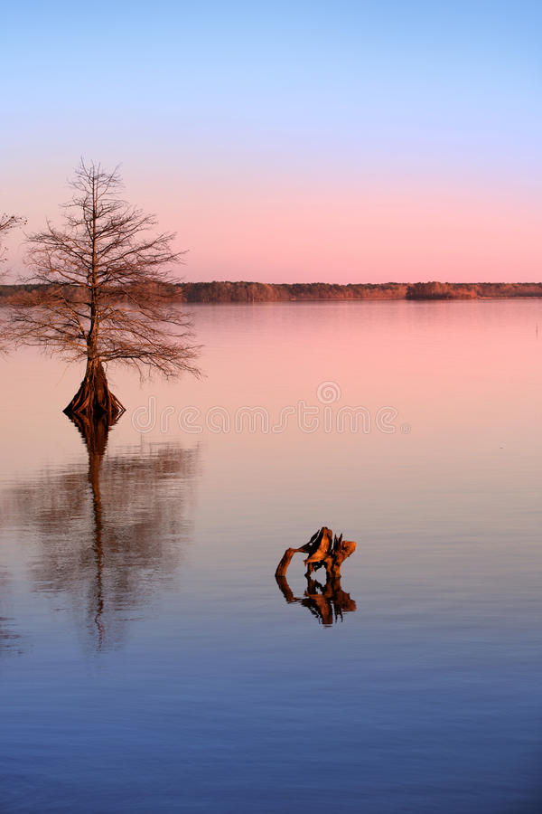 Cypress tree in the lake stock image