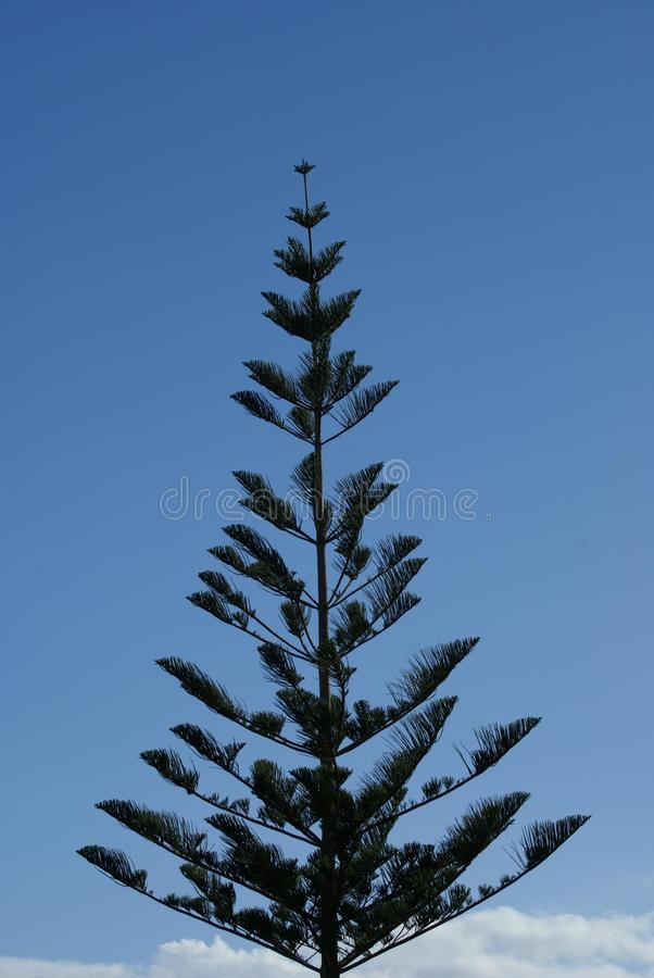 Cypress tree. A cypress is the name applied to many plants in the cypress family Cupressaceae. Most cypress species are trees, while a few are shrubs stock photography