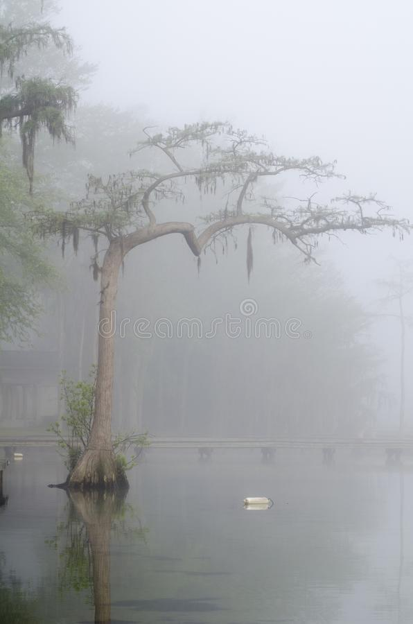 Cypress tree silhouette in mist at lake stock photos