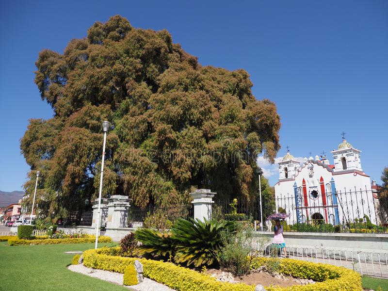 Cypress tree with stoutest trunk and church on main square of Santa Maria del Tule city in Mexico. At state of Oaxaca with clear blue sky in 2018 warm sunny stock images