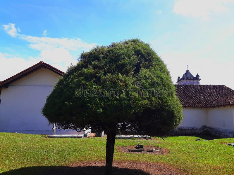Cypress tree in the Orosí Church garden, at Costa Rica. stock image