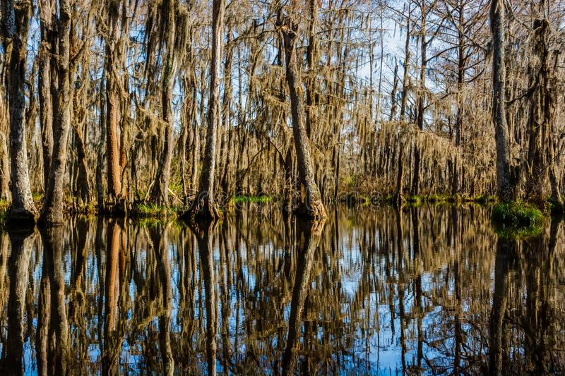 Cypress tree trunks and their water reflections in the swamps near New Orleans, Louisiana during the autumn season royalty free stock images