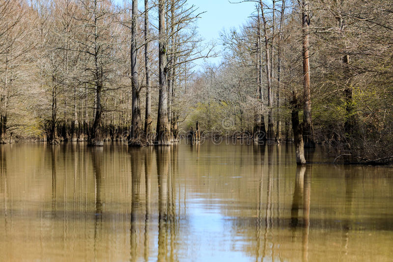Cypress trees growing in a small lake at Bald Knob Wildlife Refuge. stock image