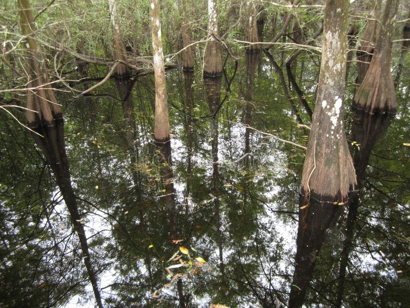 Cypress trees reflected in swamp stock image
