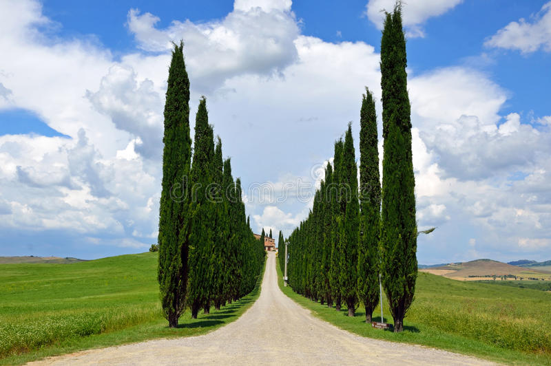 Cypress trees rows stock photography