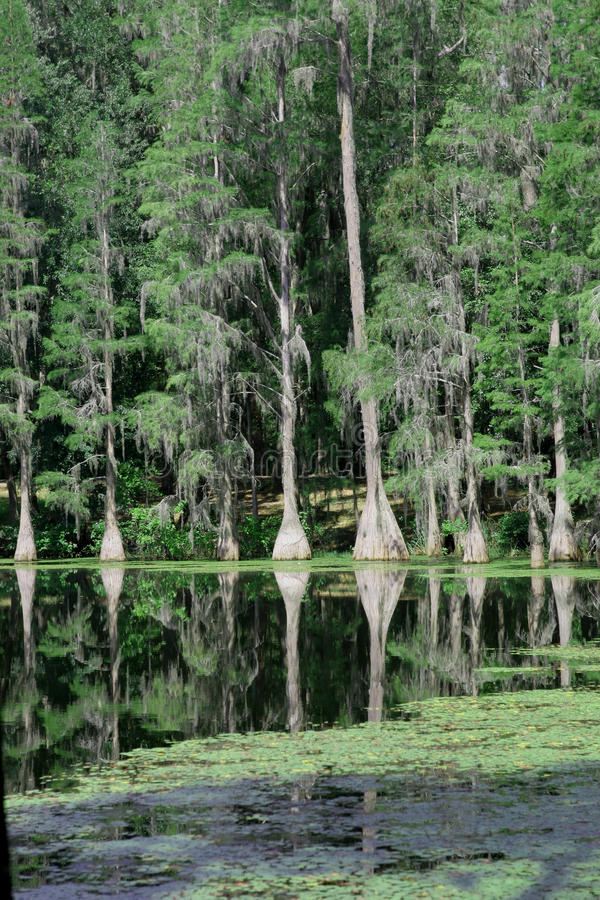 Cypress trees at suwannee stock photography