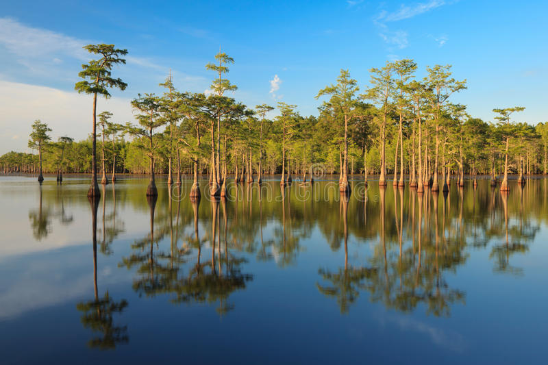 Cypress Trees in the swamp stock images
