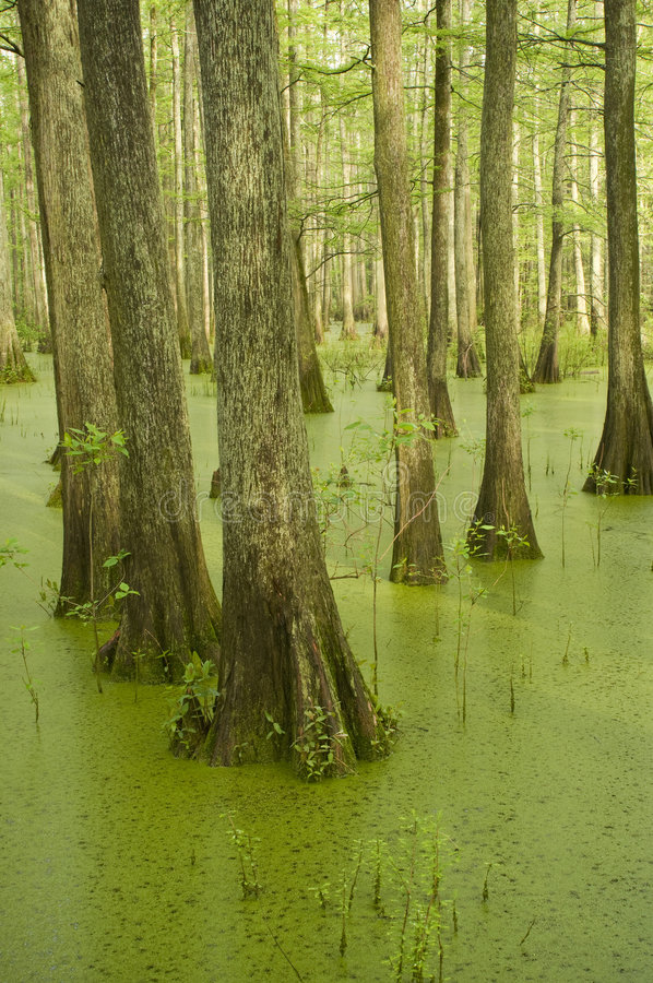 Cypress trees in swamp stock images