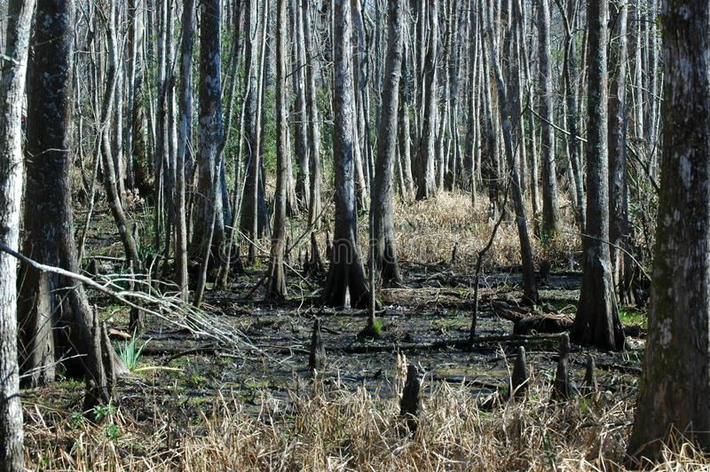 Cypress trees on a swamp at Fairview-Riverside State Park. Madisonville, Louisiana, USA stock images