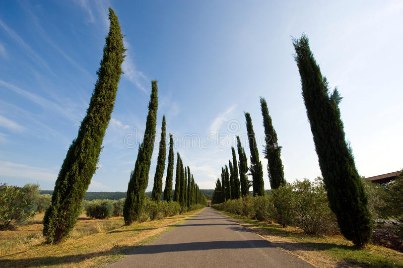 Cypress trees in Tuscany royalty free stock images