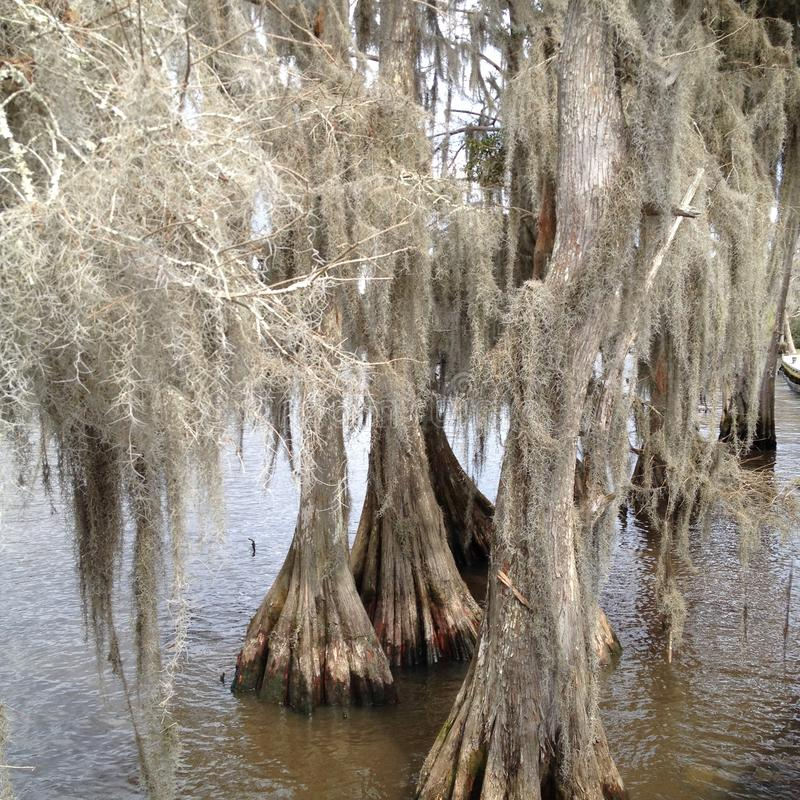 Cypress Trees royalty free stock photography