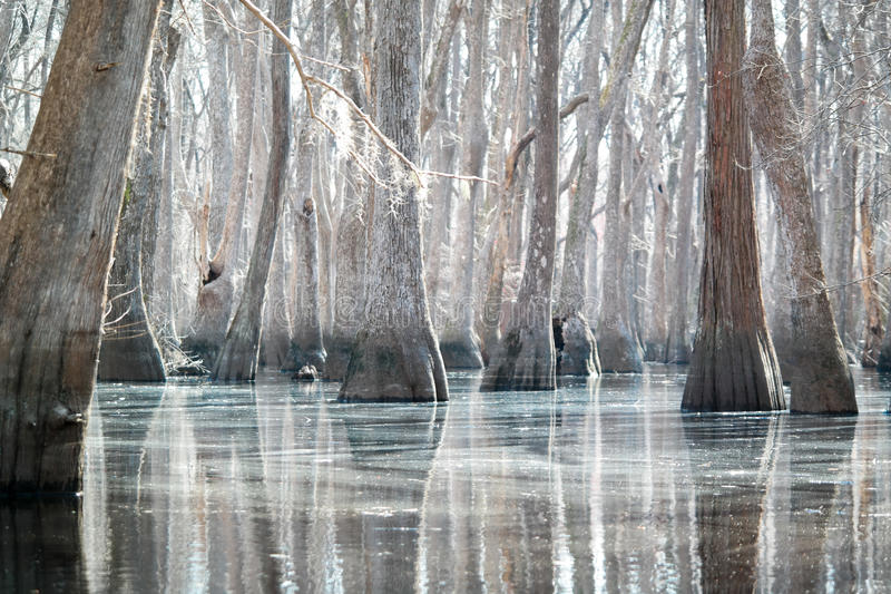 Cypress white forest with silver water stock image