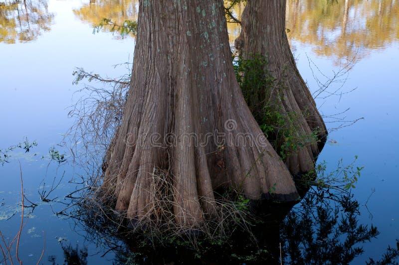 cypressen mal dammtreestammar royaltyfria bilder