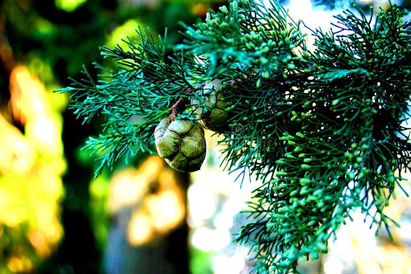 Cypressfilial med gröna kottar royaltyfri bild
