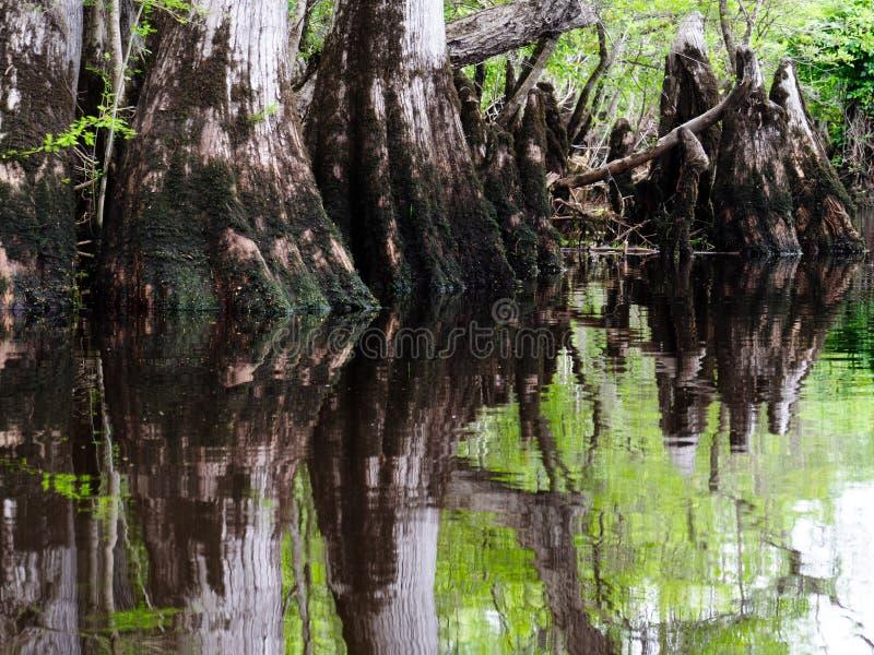 Cypressknä i träsket royaltyfria foton