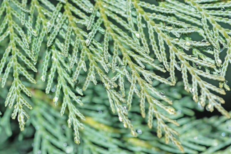 cypressmakro royaltyfri fotografi