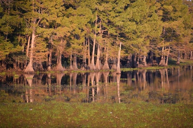 Cypressträd i den svarta flodarm sjön arkivfoto