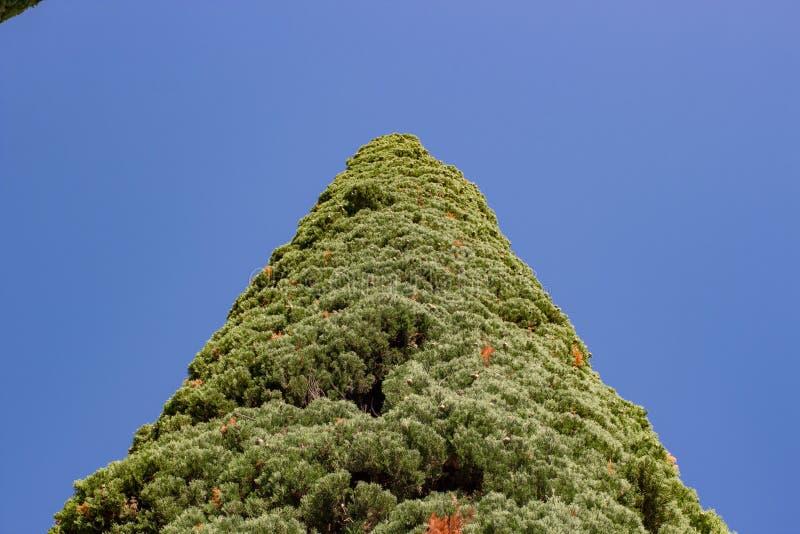 Cypressträd i sommaren i parkerar arkivbild