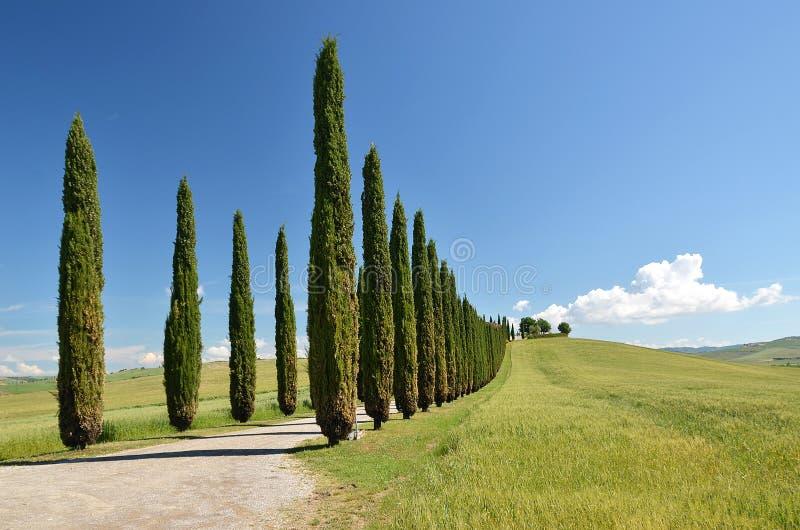 Cypressträd längs den lantliga vägen arkivbild