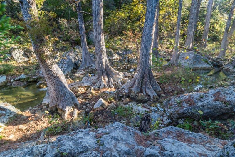 Cypressträd på Hamilton Pool Creek arkivbild