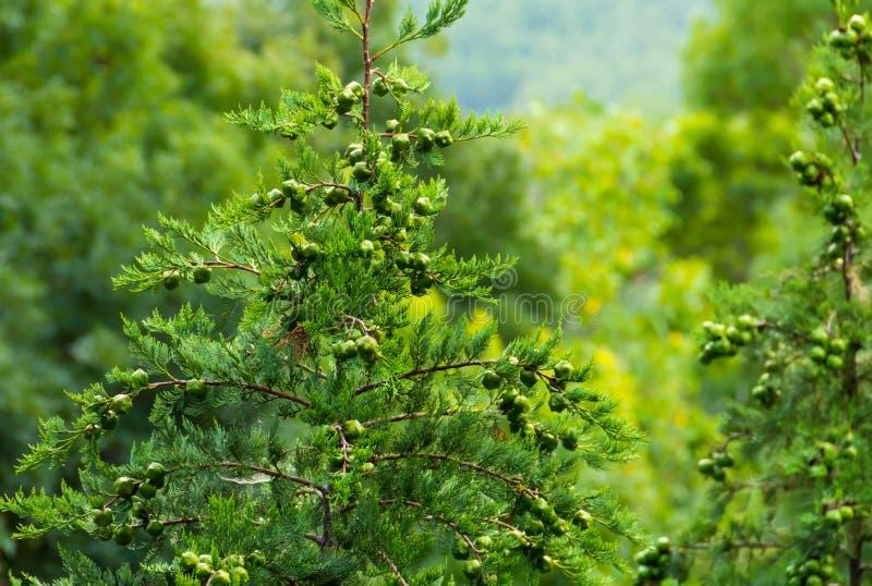 Cypressträd saftig ung evergreen med bakgrund för grönsak för knoppbärnärbild arkivfoto
