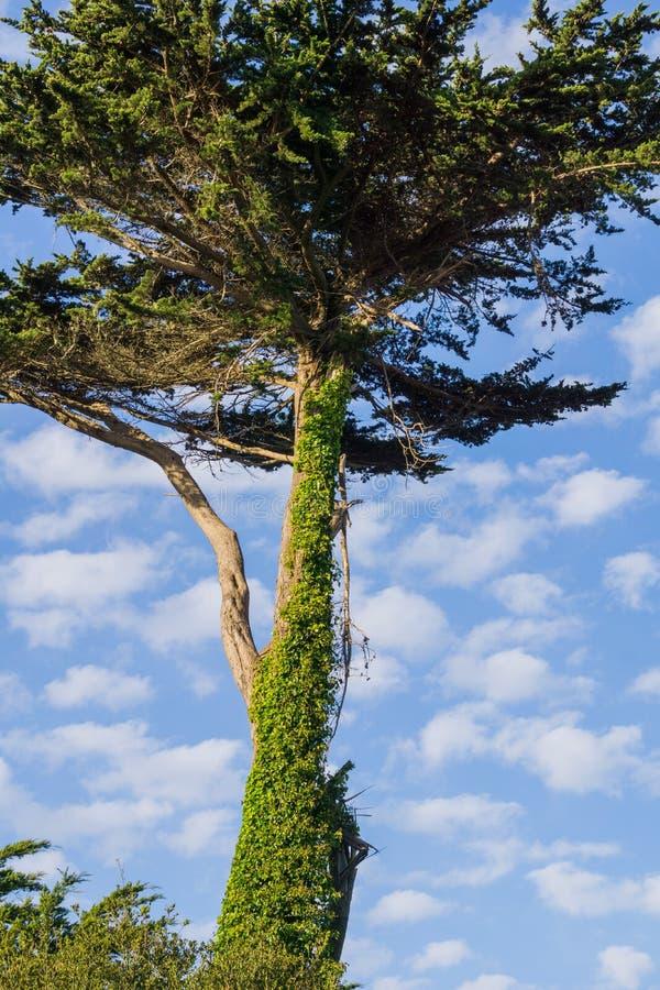 Cypressträd som täckas i klättringmurgrönan, Kalifornien fotografering för bildbyråer