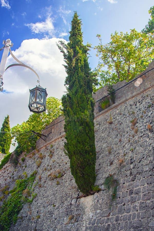 Cypressträd som växer från en stenvägg Gammal stad i stadsstången Montenegro fotografering för bildbyråer